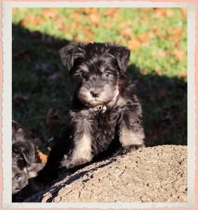 AKC mini schnauzer puppies