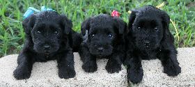 Puppies Available Featured